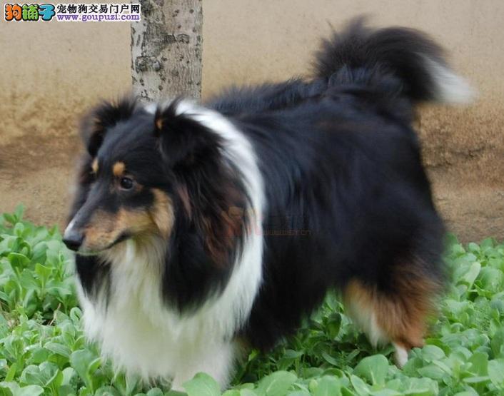 CKU犬舍认证出售高品质济南喜乐蒂微信咨询视频看狗