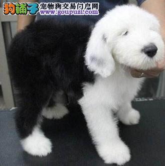 无锡出售自家繁殖古代牧羊犬犬幼犬 血统纯正 可爱