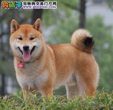 正规犬舍高品质柴犬带证书CKU认证品质绝对保障