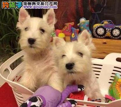 赛级纯种西高地白梗幼犬 西高地价格优惠来基地挑选