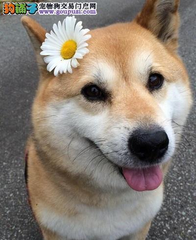 十堰知名犬舍出售多只赛级柴犬加微信送用品