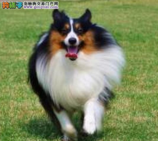 顶级喜乐蒂宝宝、假一赔十品质第一、微信咨询看狗
