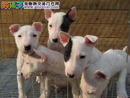 苏州海盗眼牛头梗 高品质蛋脸牛头梗幼犬