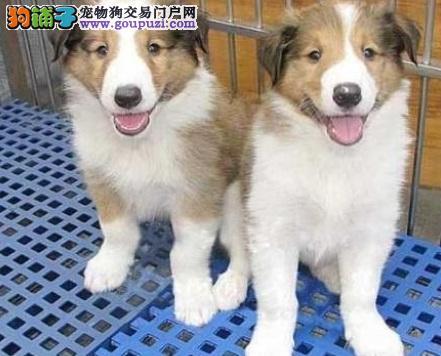 精品苏牧幼犬 纯种健康专业狗场繁殖签协议