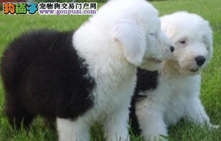 南宁专业繁殖古代牧羊犬 纯种健康 质量三包