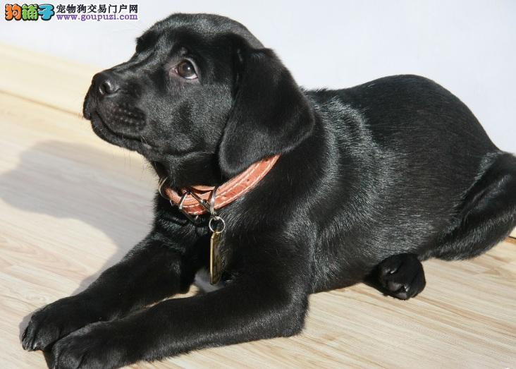 拉布拉多幼犬热销中,纯度100%保证健康,签署合同质保