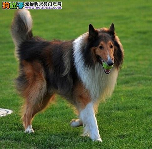 武汉自家繁殖赛级纯种苏格兰牧羊犬 颜色靓品相佳