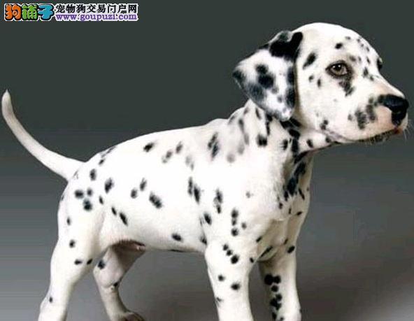 青岛出售斑点狗幼犬品质好有保障青岛市内免费送货