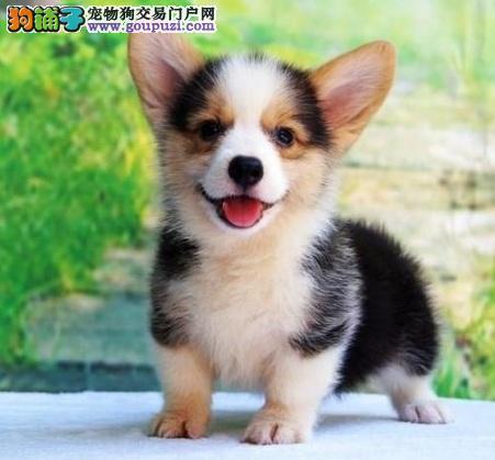 广州纯种小短腿柯基犬 宝宝均十分健康 血统纯正