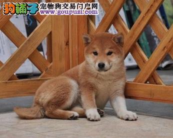 出售赛级柴犬,CKU认证品质,可签保障协议