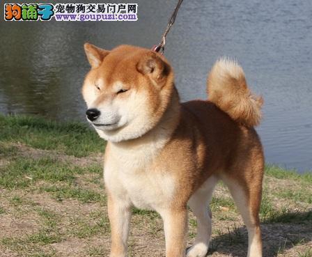 赛级犬后代黄柴出售 罕见贵族犬柴犬 白柴 黄柴都有