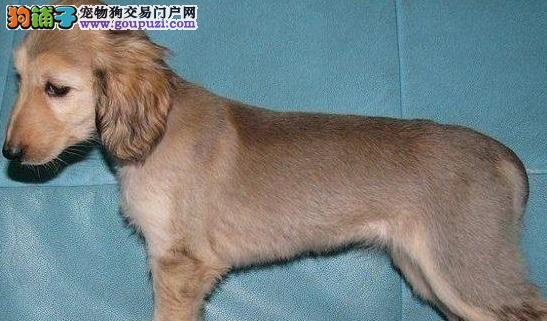 CKU认证犬舍 专业出售极品 阿富汗猎犬幼犬全国空运发货