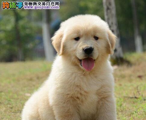 狗场直销金毛幼犬/纯种健康/可上门看狗狗