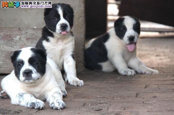 武汉繁殖基地出售多种颜色的中亚牧羊犬保终身送用品