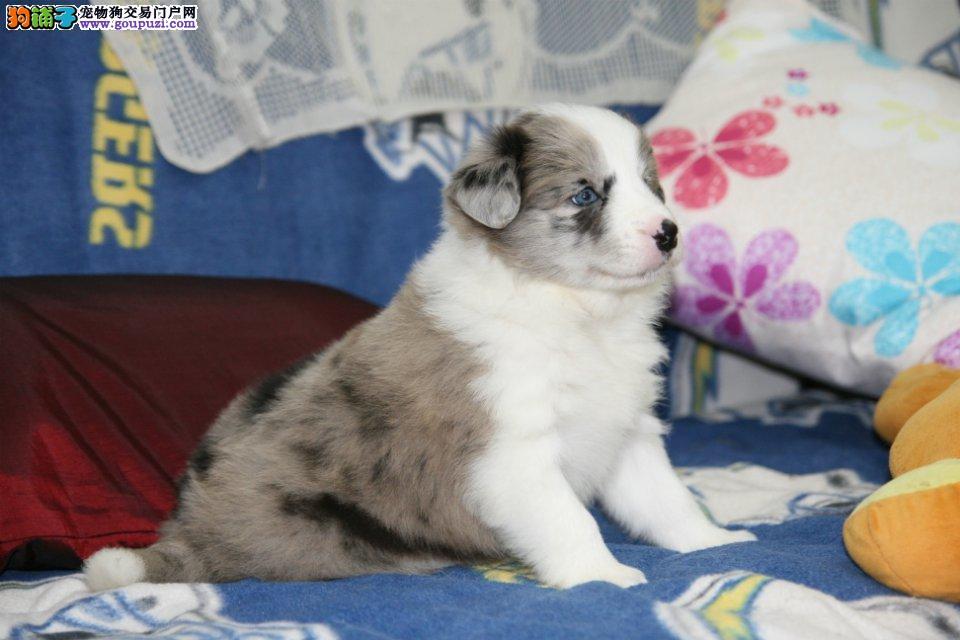 喜乐蒂正规犬舍繁殖、诚信交易、纯种犬、可签协议
