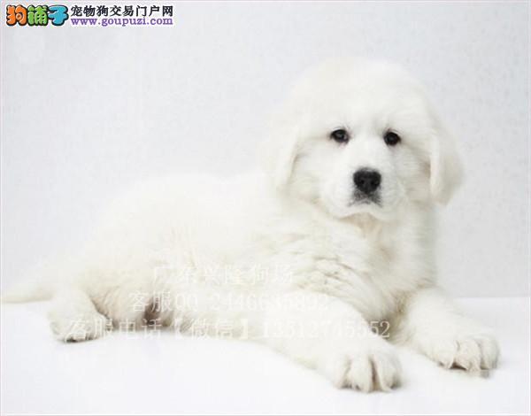 大白熊好养吗 深圳哪里有卖赛级血统大白熊