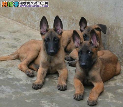 出售马犬,幼犬,公母都有,保纯种,保信誉