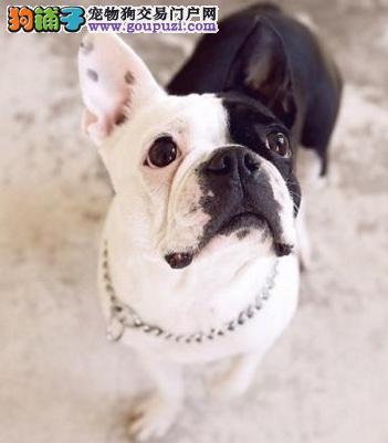 纯正血统法国斗牛犬低价促销 颜色齐全 健康保证 可选