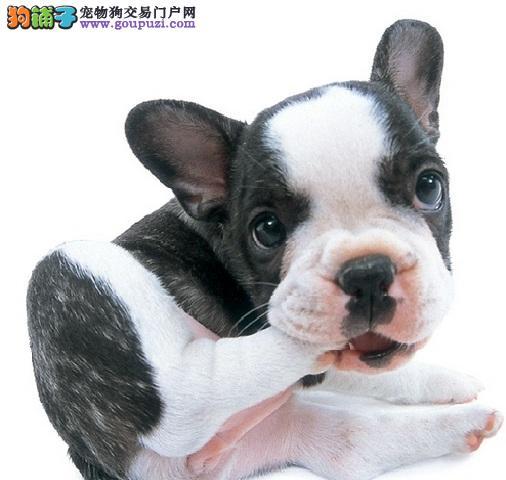 最流行名犬 黑白搭配法国斗牛犬 憨厚英斗