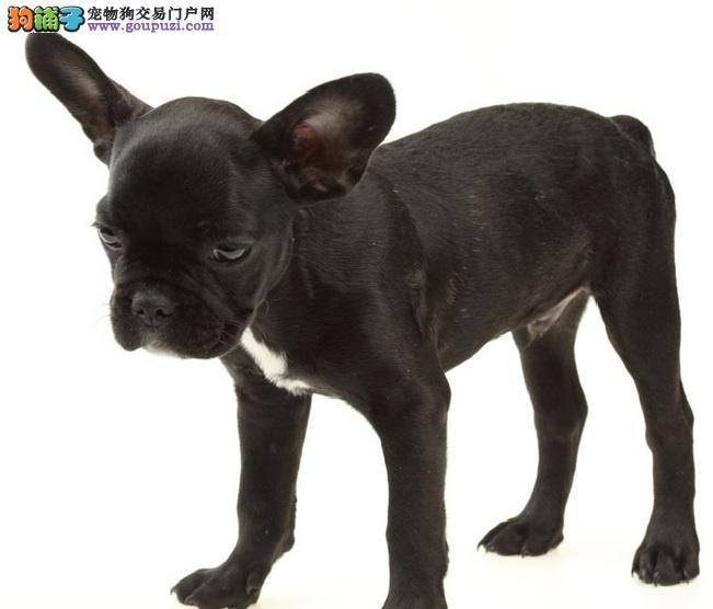 自家繁殖的纯种法国斗牛犬找主人包售后包退换