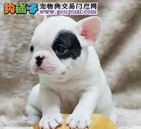 高贵气质帅气迷人小法斗 法国斗牛犬幼犬优惠出售