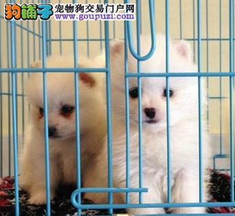 拉萨极品哈多利球形博美幼犬出售