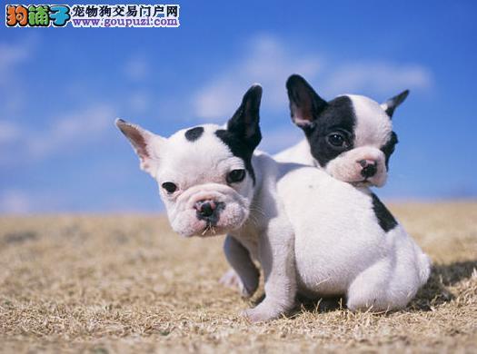 纯种赛级法国斗牛犬,保证品质健康,颜色齐全