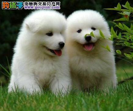 低价出售微笑天使萨摩耶 直接来北京购买可赠送狗用品