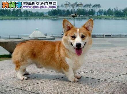 高智商 容易训练最佳伴侣柯基犬杭州出售