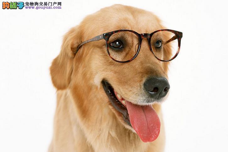 犬舍低价热销 金毛血统纯正终身质保终身护养指导
