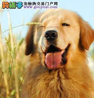 重庆出售黄金猎犬金毛 保证纯种 当面签协议