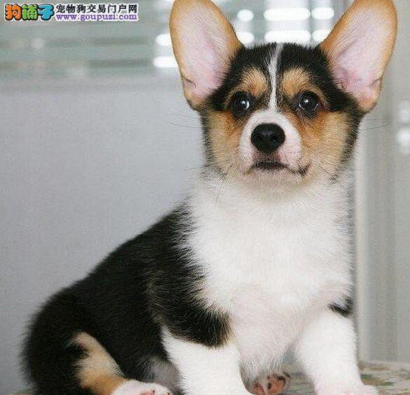 热销多只优秀的纯种柯基幼犬可直接视频挑选