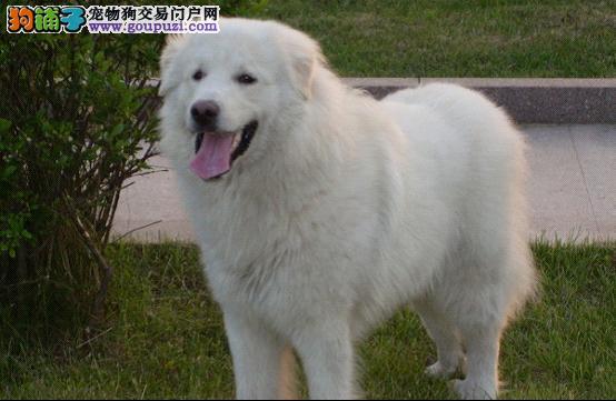 基地繁殖高品质白熊幼犬带证书昆明可送狗上门
