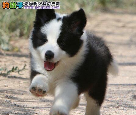 出售三通七白到位的珠海边境牧羊犬 多只幼犬任选择