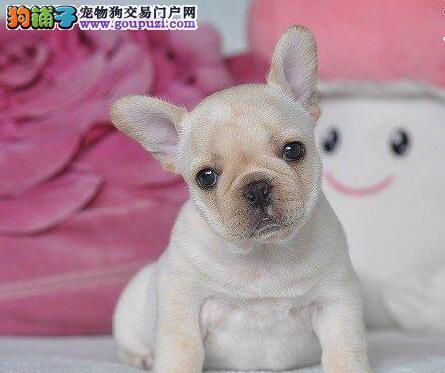 西宁犬舍出售高端品质的斗牛犬 可送货上门供选择