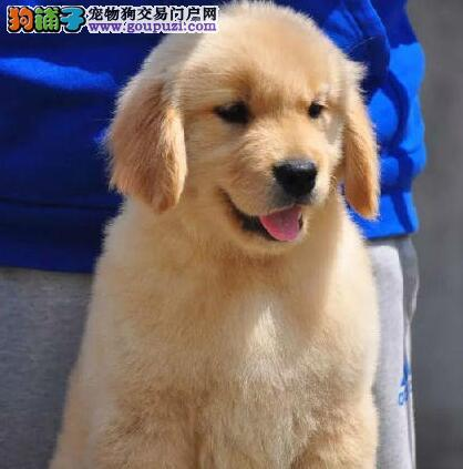 低价出售珠海犬舍繁殖的金毛犬 可随时视频看狗