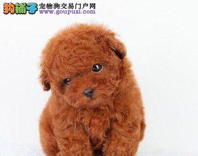 颜色全品相佳的贵宾犬纯种宝宝热卖中保证冠军级血统
