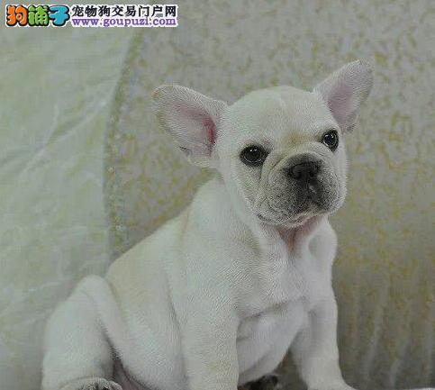 九江出售颜色齐全身体健康法国斗牛犬品质一流三包终身协议