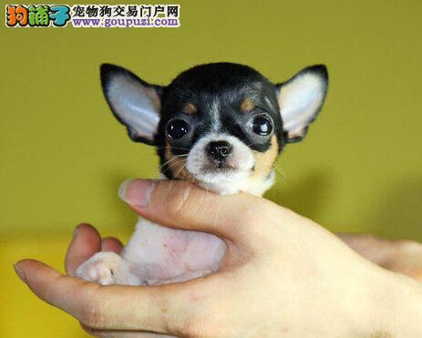 超小体型的珠海吉娃娃热销中 随时可上门看狗签合同