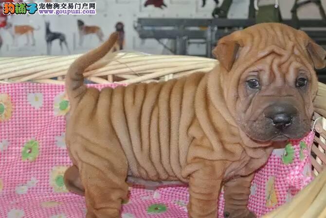 世界最稀有犬种,带有王者之气的 沙皮狗出售,优惠