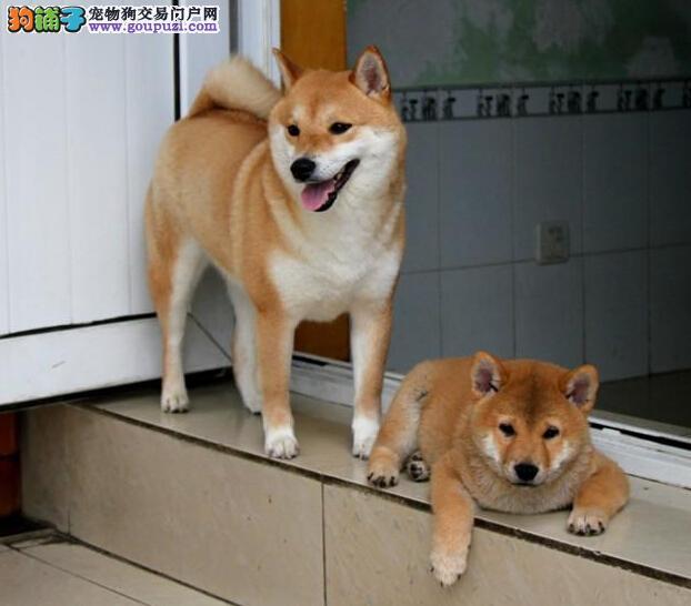广州哪里有卖秋田犬小狗 广州买纯种秋田犬多少钱