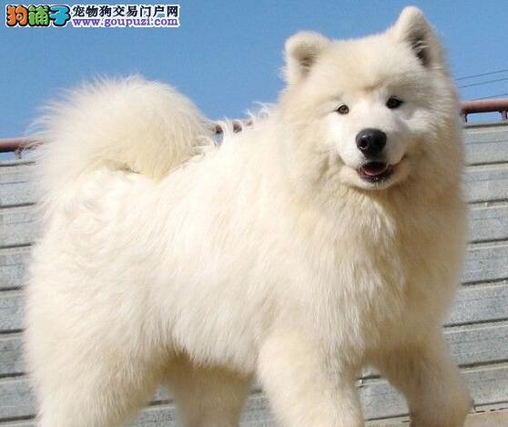 赛级品相安康萨摩耶幼犬低价出售喜欢微信咨询