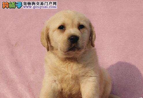 导盲犬基地繁殖出售拉布拉多犬 南宁周边可免运费