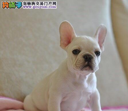 出售天津法国斗牛犬健康养殖疫苗齐全真实照片视频挑选