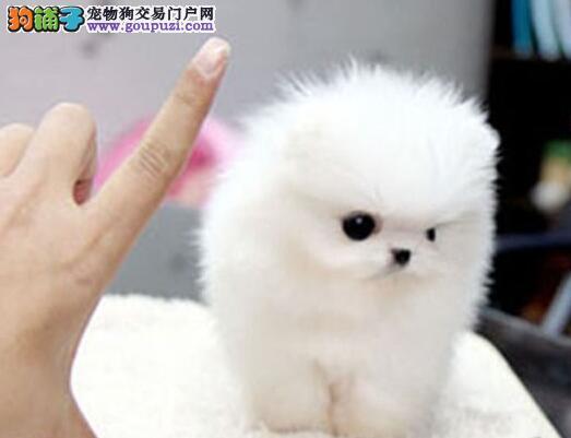 唐山知名犬业出售博美犬 多种颜色多种血系供选择