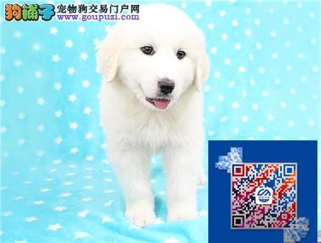 大白熊血统出售中 终身质保 质量三包 可签协议