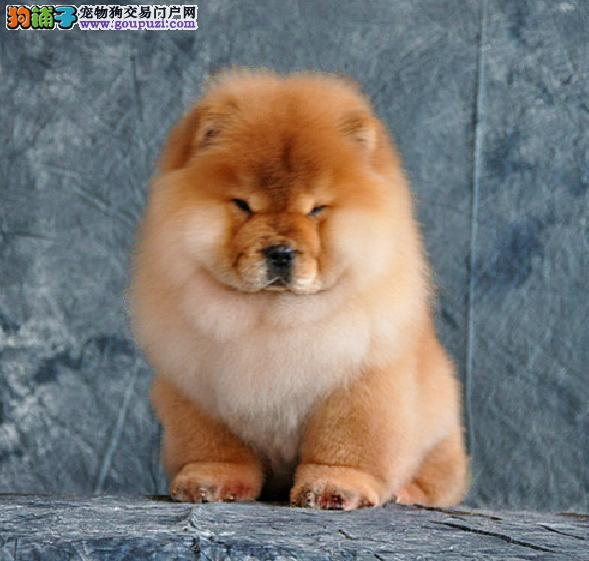 中国高端松狮犬繁育专家北京松狮犬舍出售顶级松狮幼犬