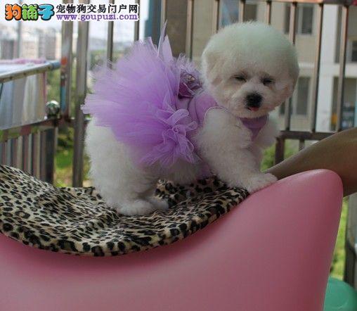 韩国引进大眼睛甜美脸型法系小体大毛量比熊幼犬