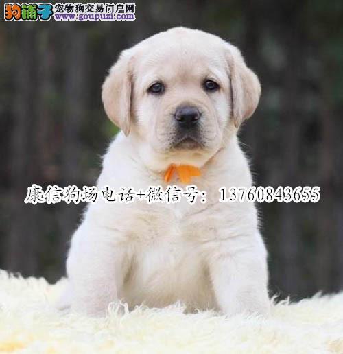 深圳哪里有卖拉布拉多犬 深圳拉布拉多价格多少 大骨架