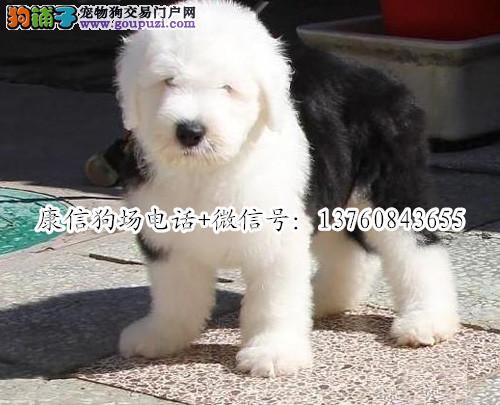 深圳哪里有卖古牧犬 深圳古牧犬价格多少 转让买卖